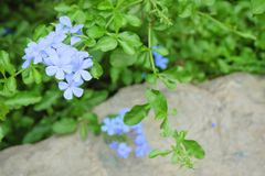 Schöne blaues Kap-Bleiwurz oder Kap Leadwort-Blumen Stockfotografie