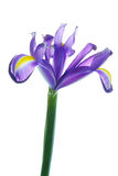 Schöne Blendenblume Stockbild