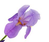 Schöne Blendenblume getrennt Lizenzfreie Stockfotografie