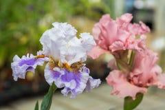 Schöne Blendenblumen Lizenzfreies Stockfoto