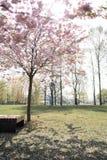Schöne blonde junge Frau in Sakura Cherry Blossom-Park im Frühjahr Natur und Freizeit während sie genießend reisend lizenzfreie stockbilder