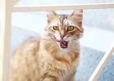 Schöne blonde Katze mit offenem Mund und der Zunge heraus Stockfotografie