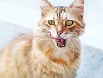 Schöne blonde Katze mit offenem Mund und der Zunge heraus Stockbild