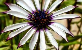 Schöne Blume Bella Flor lizenzfreie stockfotografie