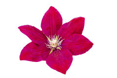 Schöne Blume Burgunder lokalisiert auf Weiß Lizenzfreies Stockbild