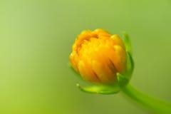 Schöne Blume, Calendula, gelbe Blumenblätter, Gänseblümchenanlage auf grünem Hintergrund stockfotografie