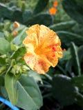 Schöne Blume in den gelben und roten Tönen! Stockfoto
