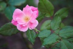 Schöne Blume in der Blüte Stockbild