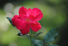 Schöne Blume in der Blüte Lizenzfreie Stockfotografie