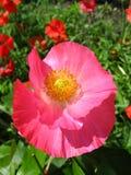 Schöne Blume der roten Mohnblume Lizenzfreie Stockbilder