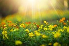 Schöne Blume der wilden Wiese auf Morgensonnenlichthintergrund Sel Stockfoto