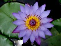 Schöne Blume des blauen Lotos in Indien lizenzfreies stockfoto