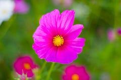 Schöne Blume des Kosmos lizenzfreies stockfoto
