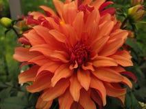 Schöne Blume des Makrofotos einer Dahlie Stockfoto