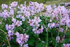 Schöne Blume des Nord-Pamirs Stockfotos