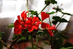 Schöne Blume einer Pelargonie stockfotos