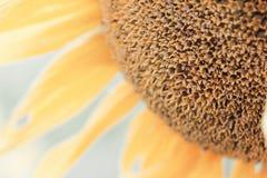 Schöne Blume einer Sonnenblume Stockfotos