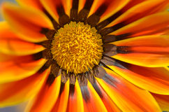 Schöne Blume in einer Wiese Stockfoto