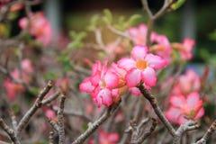 Schöne Blume für den festlichen Valentinsgruß, nahe hohe viele rosa Azalee blüht das Blühen im Gartenhinterhof Stockbild