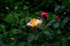 Schöne Blume im Garten stockbild