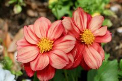 Schöne Blume im Garten Lizenzfreies Stockfoto