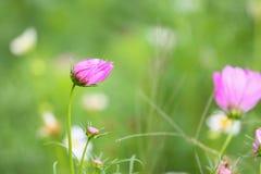 Schöne Blume im Garten mit Sonnenlicht, Naturhintergrund und buntem mit leerem Bereich für Text, Zierpflanzenbau im Winter Stockfotos
