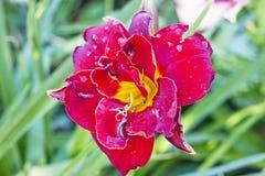 Schöne Blume Lilie in einer Wiese im Sommer Lizenzfreie Stockfotografie