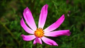 Schöne Blume mit den klaren Blumenblättern Stockfotografie