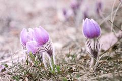 Schöne Blume Pulsatilla patens Lizenzfreie Stockfotos