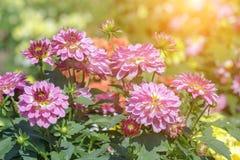 Schöne Blume und grüner Blatthintergrund im Garten am sonnigen Sommer- oder Frühlingstag Stockfotografie