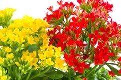 Schöne Blume von kalanchoe Lizenzfreie Stockbilder