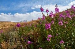 Schöne Blumen auf dem Gebiet Sonnenuntergang in der Steppe, ein schöner Abendhimmel mit Wolken, Plato Ukok, niemand herum, Altai Stockfotos