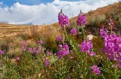 Schöne Blumen auf dem Gebiet Sonnenuntergang in der Steppe, ein schöner Abendhimmel mit Wolken, Plato Ukok, niemand herum, Altai Lizenzfreies Stockfoto