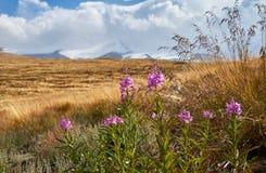 Schöne Blumen auf dem Gebiet Sonnenuntergang in der Steppe, ein schöner Abendhimmel mit Wolken, Plato Ukok, niemand herum, Altai Stockbild
