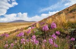 Schöne Blumen auf dem Gebiet Sonnenuntergang in der Steppe, ein schöner Abendhimmel mit Wolken, Plato Ukok, niemand herum, Altai Stockfoto