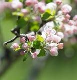 Schöne Blumen auf den Niederlassungen von Apfelbäumen Lizenzfreies Stockbild