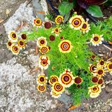 Schöne Blumen in Balcic Bulcaria Stockbilder