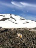 Schöne Blumen in den Schnee Lizenzfreies Stockbild