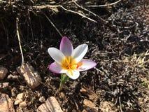 Schöne Blumen in den Schnee Lizenzfreie Stockfotografie