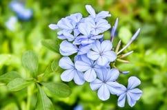 Schöne Blumen in der blauen Farbe zeigt das Zeichen des Frühlinges Stockbild