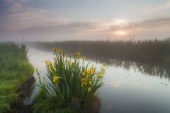Schöne Blumen der gelben Iris Lizenzfreie Stockbilder