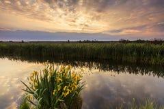 Schöne Blumen der gelben Iris Stockfotografie