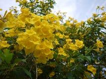 Schöne Blumen der gelben Trompete blühen in einem frischen grünen Garten stockbilder