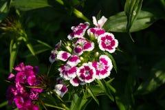Schöne Blumen der türkischen Gartennelke im sonnigen Garten des Sommers lizenzfreie stockfotos