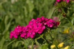 Schöne Blumen der türkischen Gartennelke im sonnigen Garten des Sommers stockfotos