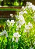 Schöne Blumen der weißen Iris Schöne Iris auf grünem Hintergrund Lizenzfreie Stockbilder