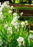 Schöne Blumen der weißen Iris Schöne Iris auf grünem Hintergrund Stockfoto