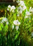Schöne Blumen der weißen Iris Schöne Iris auf grünem Hintergrund Lizenzfreies Stockbild
