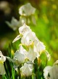 Schöne Blumen der weißen Iris Schöne Iris auf grünem Hintergrund Lizenzfreie Stockfotografie