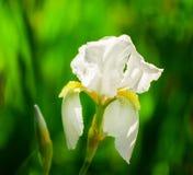 Schöne Blumen der weißen Iris Schöne Iris auf grünem Hintergrund Lizenzfreies Stockfoto